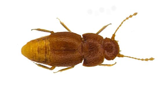 In this undated photo issued by Entomologist's Monthly Magazine, showing the new species of beetle Nelloptodes gretae, named after Swedish environmental campaigner Greta Thunberg.