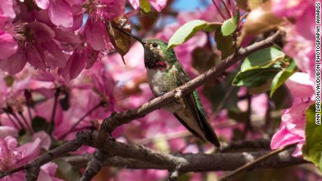 The Broadtailed Hummingbird