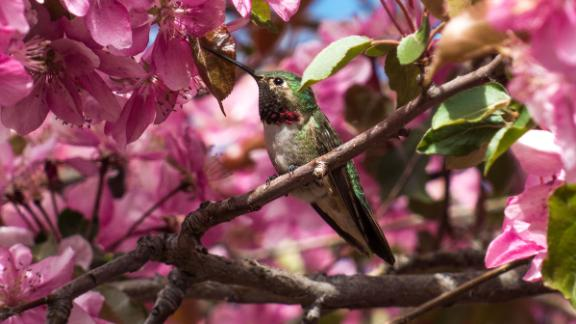 The Broadtailed Hummingbird