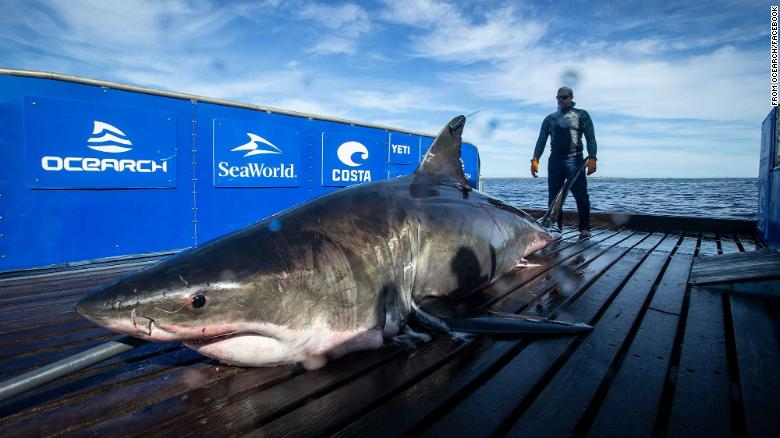 A 2,000-pound great white shark has been spotted near Miami