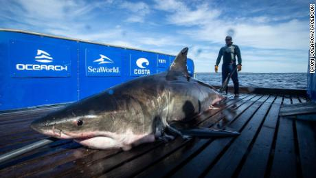 A 2,000-pound great white shark is swimming off the coast of Florida