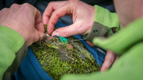 Andrew Digby adds a GPS logger to a kakapo