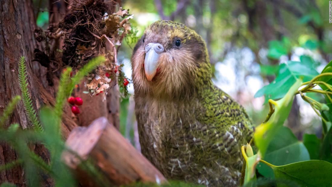 A kakapo parrot in New Zealand.
