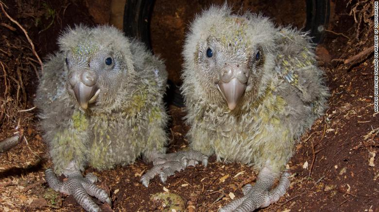 These kakapo chicks are starting to lose their baby fluff and gain their adult plumage.