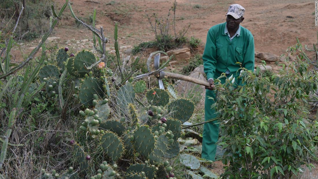 <strong>Waging a war:</strong> Locals have been waging a war to control the prickly pest for years, but with limited success. Mechanical removal risks spreading the cactus further if parts of the plant break off and re-root.