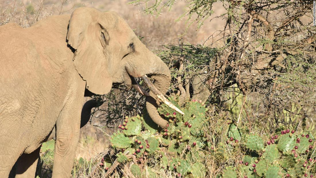 <strong>Injured elephants:</strong> Elephants snack on the fruit of the invasive cactus but can ingest sharp spines that lodge in their mouth, stomach lining and intestine, causing painful abscesses.