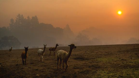 Smoke from the Kincade Fire hangs over Healdsburg as farm animals graze in a pasture on October 28.