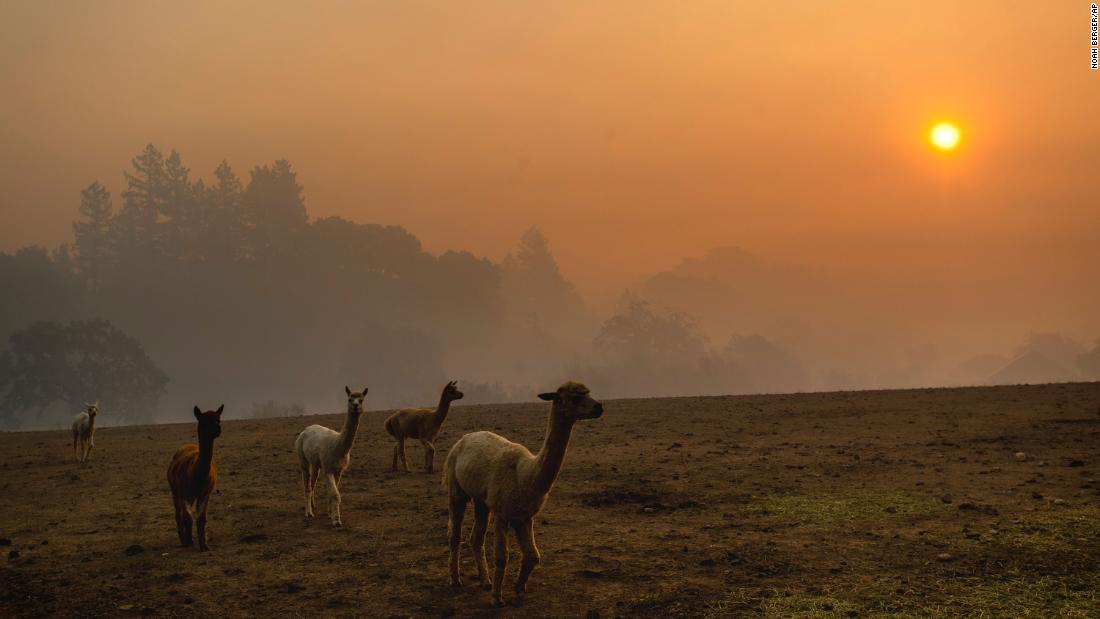 Smoke from the Kincade Fire hangs over Healdsburg, California, as farm animals graze in a pasture on October 28.