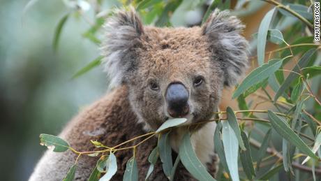 Hundreds Of Koalas Feared Dead In Australian Bushfires Cnn