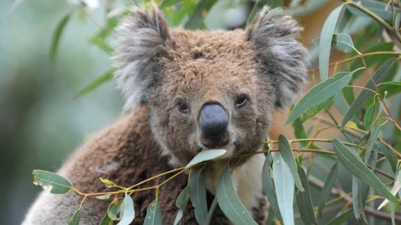 Australia's koalas are in serious decline, experts say, with as few as 43,000 left in the wild.