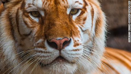 There are more tigers in captivity in the US than in the wild