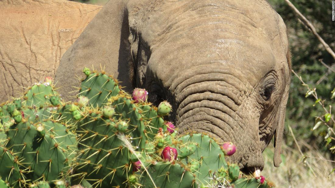 <strong>Human-elephant conflict: </strong>The relentless spread of the cactus close to human settlements is causing a spike in human-elephant conflict.