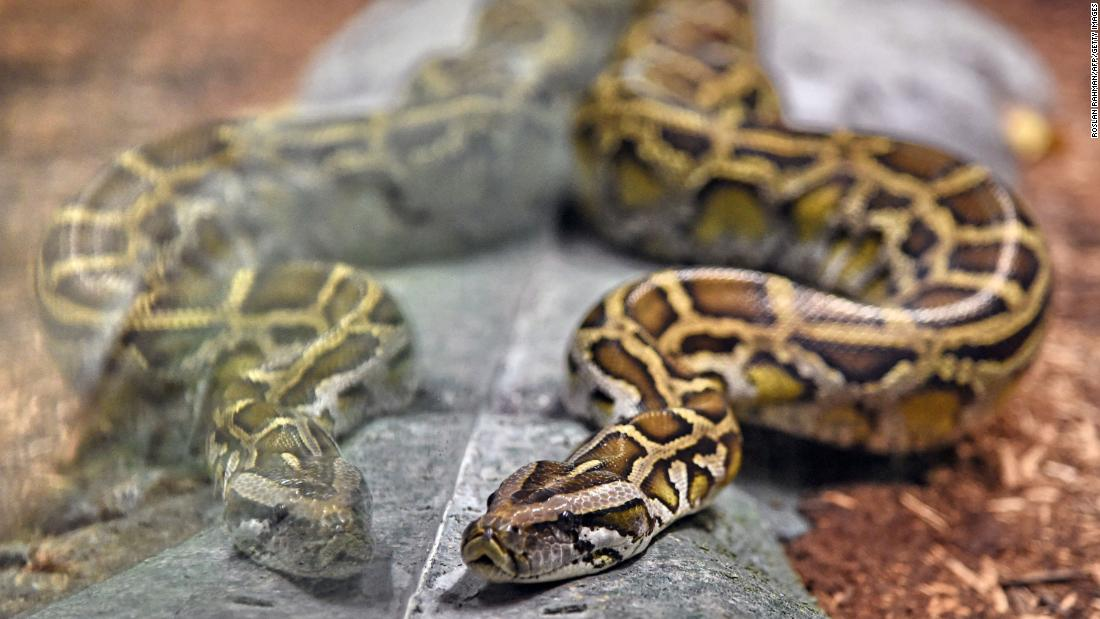 Woman found dead with a python wrapped around her neck in a home with 140 snakes