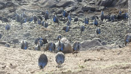 Groups of vulturine guinea fowl can become very large, and when multiple groups come into contact the number of birds moving together can reach into the hundreds. However, when these 'super-groups' eventually split, they do so back into their original stable group units, meaning that individuals are knowledgeable about who is part of their group and who is not.