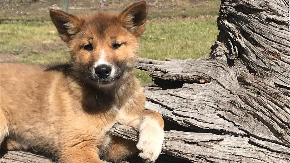 Stray puppy found in rural backyard is actually a pure-bred dingo