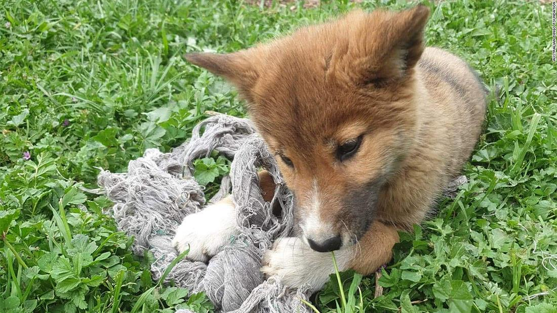 Welpen fanden im Hinterhof ist tatsächlich ein dingo