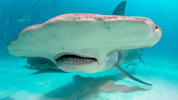 A hammerhead shark's head shape acts like sweeping a metal detector across the sand, using their ability to sense electromagnetic fields in order find prey that's buried under the sand.