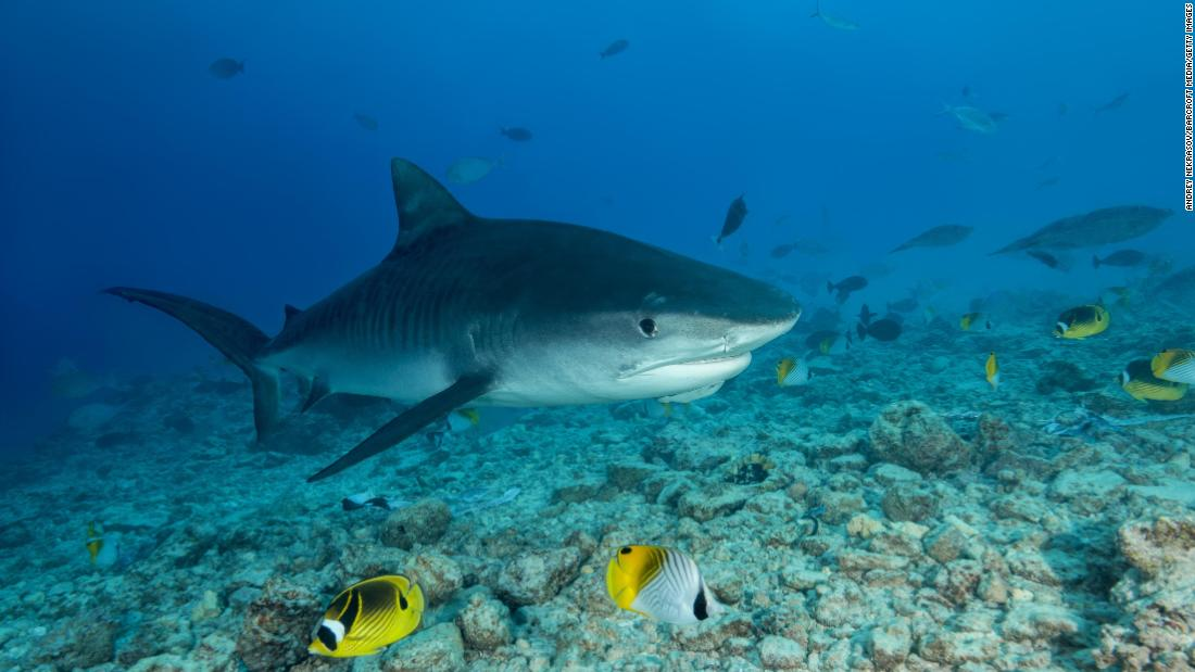 How sharks outlived dinosaurs and adapted to suit their environment