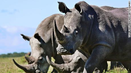 Rhinos are often poached for their horn, which some buyers believe can cure health problems.