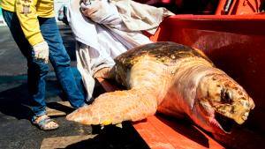 Oct 17, 2019; Fort Myers Beach, FL, USA; Eve Haverfield, the founder of Turtle Time Inc. displays a large female loggerhead sea turtle at Bowditch Point Park on Fort Myers Beach that was picked up from mid-island on Fort Myers Beach on Thursday morning. She says this is the eighth dead sea turtle that has been recovered from Bonita Beach and Fort Myers Beach. One loggerhead and seven Kemp's Ridley. Dead fish are starting to show up on Fort Myers Beach as well. There is a red tide outbreak off the coast of Southwest Florida. Mandatory Credit: Andrew West/The News-Press via USA TODAY NETWORK/Sipa USA