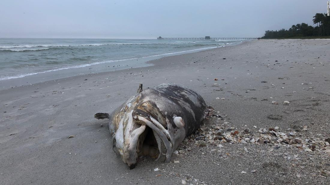 A black grouper that washed ashore in early November may have fallen victim to this latest red tide.