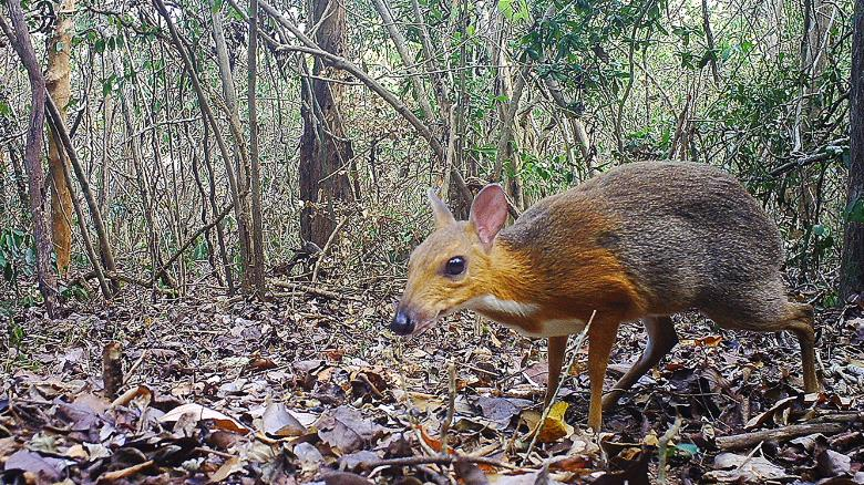 Tiny Deer Like Animal Spotted After 25 Years