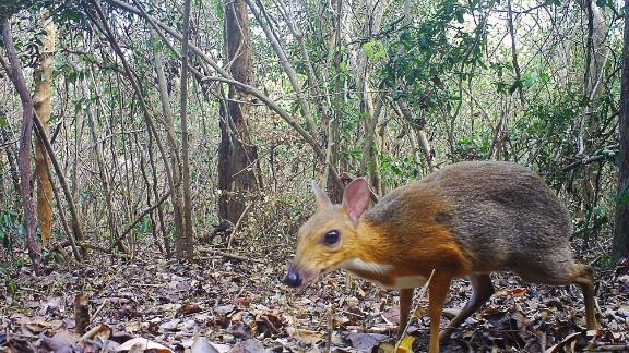 mouse deer vietnam found after 25 years