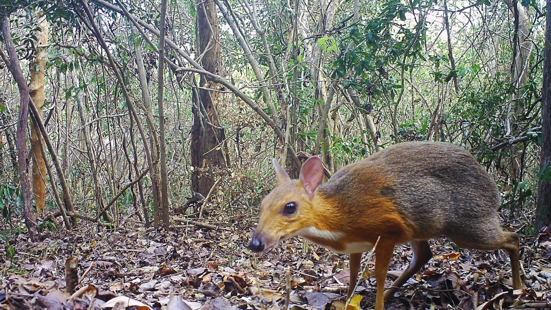 Tiny deer-like animal spotted after 25 years