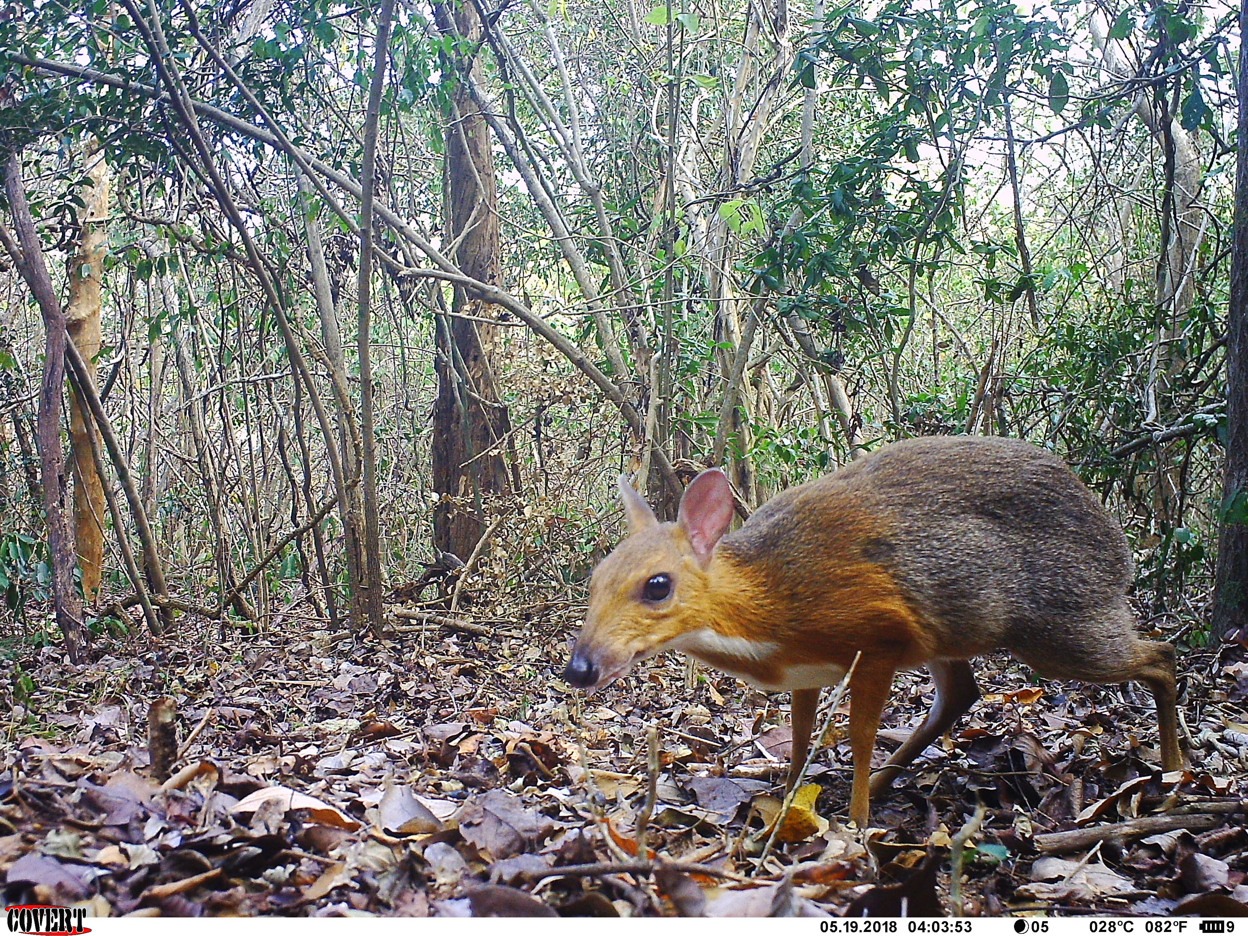 Tiny deer-like animal called silver-backed chevrotain spotted after 25  years - CNN Video