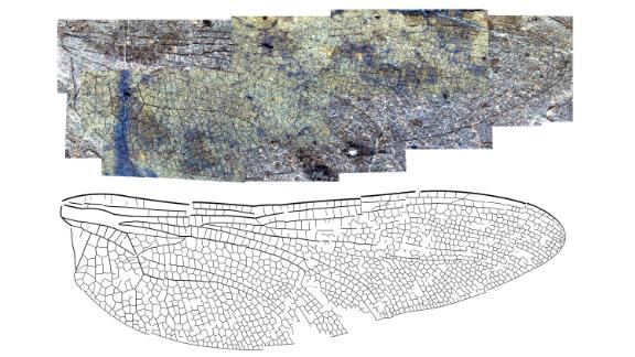 The wing of the new fossil dragonfly species Eoshna thompsonensis from the 53-million-year-old McAbee fossil beds. The name refers to the Thompson River in British Columbia, Canada, which fossil site overlooks.