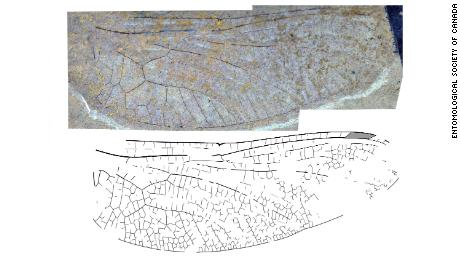 The wing of a new species of darner dragonfly from the 53-million-year-old McAbee fossil beds near Cache Creek, BC, Canada, which does not have enough detail preserved to formally name.