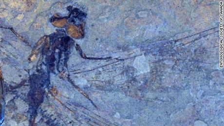 A fossilized dragonfly