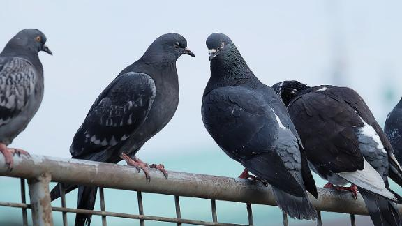 Researchers have discovered that human hair might be the reason why pigeons lose their toes.