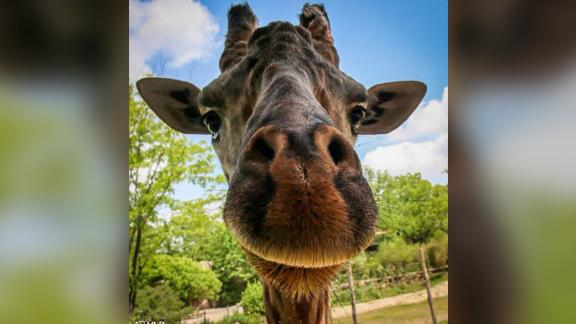 Kimba, Cincinnati Zoo's only male giraffe, died after complications from a surgery to fix his hooves on Sunday.