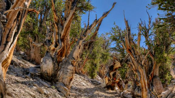 Methuselah is a 4,845-year-old bristlecone pine tree in eastern California, named after the Biblical figure with the longest lifespan in the Bible of 969 years. Methuselah's exact location is undisclosed to protect it from vandalism. Methuselah was the world's oldest known living non-clonal organism, until the 2013 discovery of another pine germinated in 3051 BC with an age over 5,000 years.