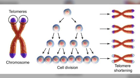Telomeres protect the ends of cells from shortening as they multiply, thus extending the life of the cell.