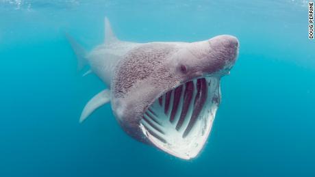 The basking shark feeds on plankton while feeding plankton off land's end, Cornwall, United Kingdom.