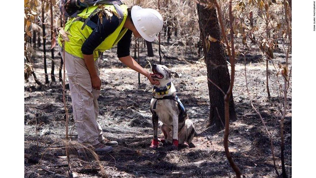 Koala-sniffing dogs are on a mission to save animals from Australia's bushfires