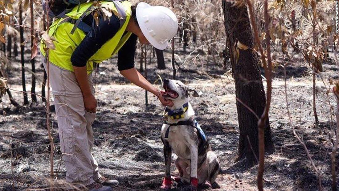 Koala-sniffing dogs are on a mission to save animals from Australia's bushfires - CNN