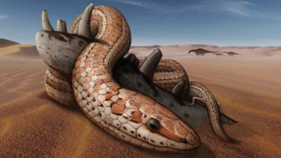 This is an artist's illustration of Najash rionegrina in the dunes of the Kokorkom desert that extended across Northern Patagonia during the Late Cretaceous period. The snake is coiled around with its hindlimbs on top of the remains of a jaw bone from a small charcharodontosaurid dinosaur.