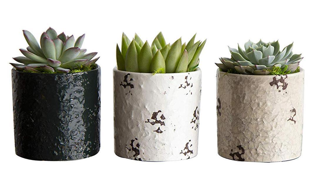 lantas Suculentas de 3 piezas Hallmark Flowers