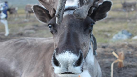 Herders use the ice patches in summer to regulate the body temperature of their reindeer.