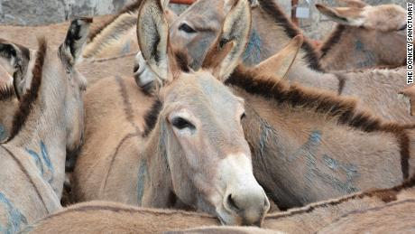 Donkeys amass at the Goldox slaughterhouse in Baringo, Kenya.