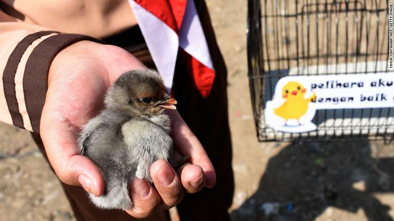 An Indonesian pupil holds a chick.