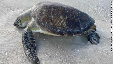 A green sea turtle that died as a result of red tide in October 2019 in Collier County, Florida.