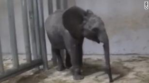 Exclusive: Footage shows wild elephants locked in cages