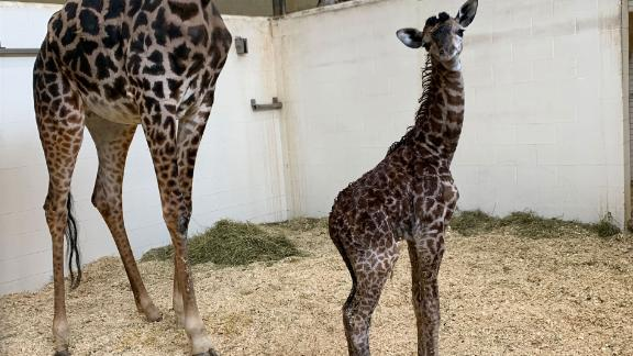 Mother and calf get to know each other Saturday at the Cincinnati zoo.