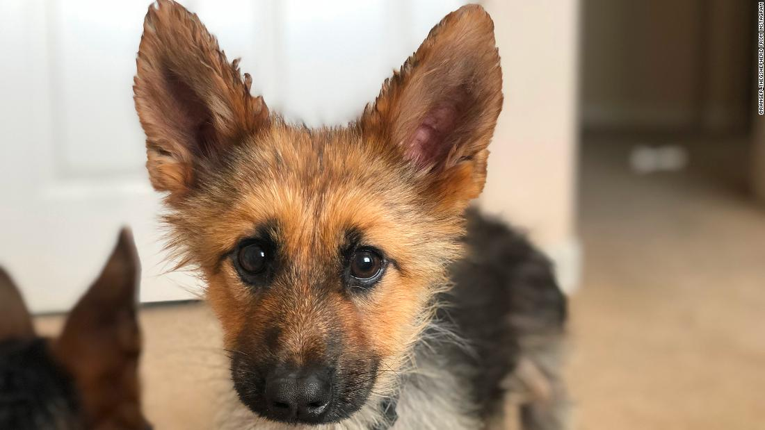 This German Shepherd Who Will Look Like A Puppy Forever Is The Best Thing On Instagram Cnn
