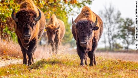 Why bringing back bison could help restore America's lost prairie