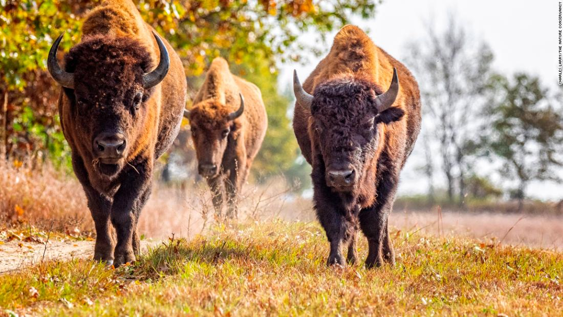 Why bringing back bison could help restore America's lost prairie
